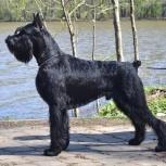 Ризеншнауцер щенки чёрного окраса, Салехард